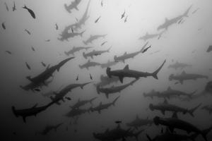 Scalloped Hammerhead Sharks, Sphyrna Lewini, Swimming Among Smaller Fish by Jeff Wildermuth