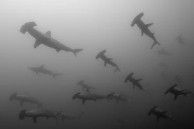 Scalloped Hammerhead Sharks, Sphyrna Lewini, Swimming by Jeff Wildermuth
