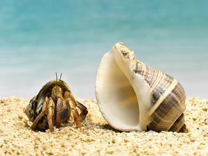 Hermit Crab Looking at Larger Shell by Jeffrey Hamilton