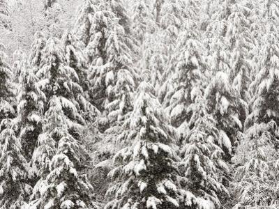 Heavy Snow Hangs on Trees Along Hurricane Ridge by Jeffrey Phelps