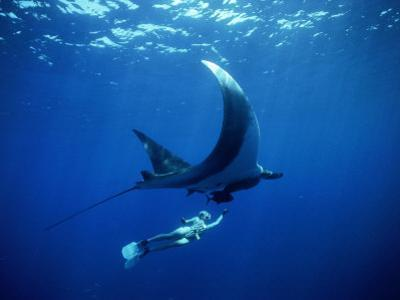 Diver Swims with Giant Manta Ray, Mexico