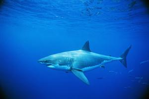 Great White Shark and Small School of Mackerel Scad by Jeffrey Rotman