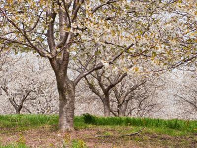 Cherry Tree Orchard (Prunus), Michigan, USA