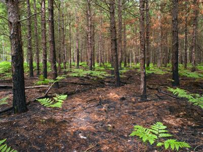 Re-Growth after Prescribed Burn on the Huron-Manistee National Forest, Michigan