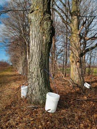 Sugar Maple Trees (Acer Saccharum) Tapped, Michigan, USA