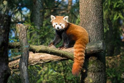 Red Panda by jelkom