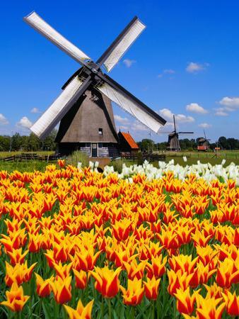 Dutch Windmills and Tulips