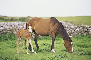 Horse and Foal Grazing in Field by Jenifer Harrington
