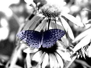 Black And White Butterfly by Jenn Gaylord