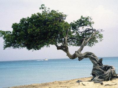 Divi Tree, Aruba