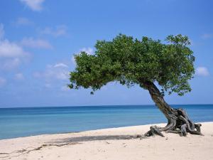 Divi Tree, Aruba by Jennifer Broadus