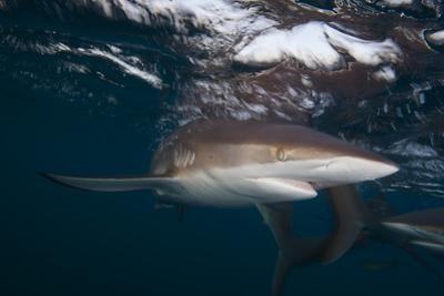 A Silky Shark Patrols the Rich Coral Reefs of Gardens of the Queen
