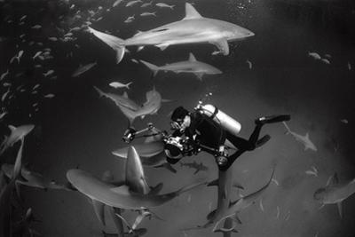 Caribbean Reef Sharks Swimming in a Frenzy around an Underwater Photographer by Jennifer Hayes