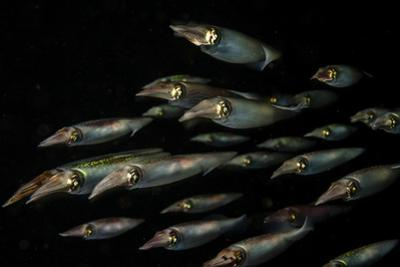 Caribbean Reef Squid Hunt for a Meal in Cuba's Gardens of the Queen Marine National Park