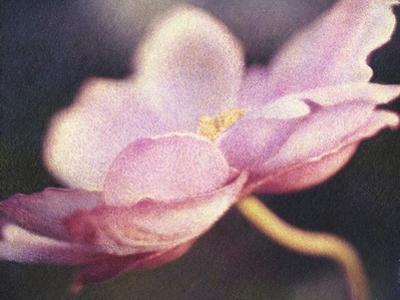 Japanese Anemone Blossom by Jennifer Kennard
