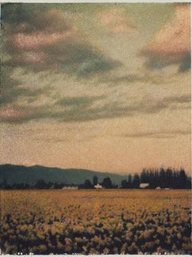 Skagit Daffodils No.2 by Jennifer Kennard