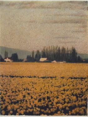Skagit Daffodils by Jennifer Kennard