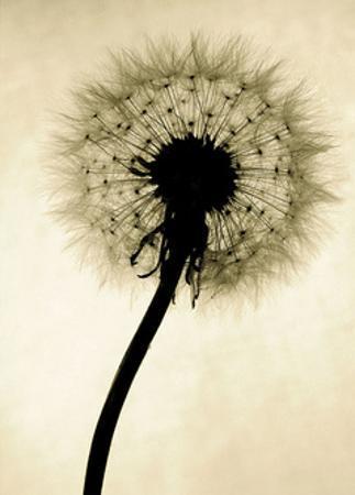 Backlit Dandelion by Jenny Kraft