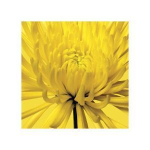 Yellow Mum IV by Jenny Kraft