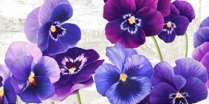 Dance of Pansies by Jenny Thomlinson
