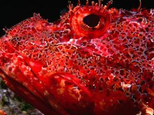 Portrait of Scorpionfish, Danger Rock, Poor Knights Islands Marine Reserve, New Zealand by Jenny & Tony Enderby