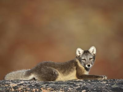 Arctic Fox (Vulpes Lagopus) Lying on Rock, Disko Bay, Greenland, August 2009