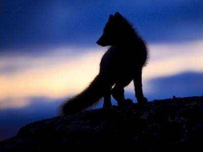 Arctic Fox (Vulpes Lagopus) Silhouetted at Twilight, Greenland, August 2009