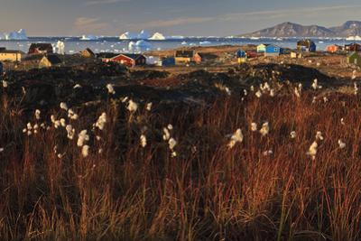 Cotton Grass (Eriophorum Sp) Near Coastal Settlement, Saqqaq, Greenland, August 2009