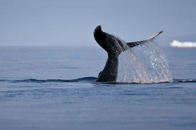 Tail Fluke of a Diving Humpback Whale (Megaptera Novaeangliae) Disko Bay, Greenland, August 2009
