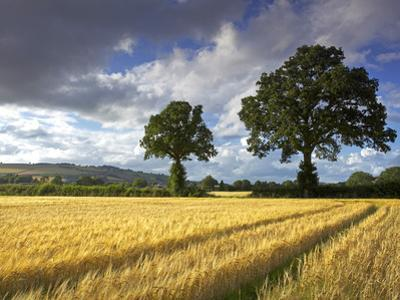 Cornfields, Exe Valley, Devon, England, United Kingdom, Europe by Jeremy Lightfoot