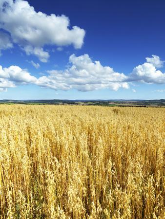 Oat Field, Thorverton, Devon, England, United Kingdom, Europe by Jeremy Lightfoot