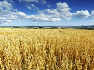 Oat Field, Thorverton, Devon, England, United Kingdom, Europe by Jeremy Lightfoot