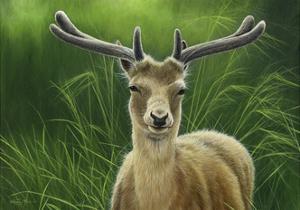 Fallow Buck in Velvet by Jeremy Paul