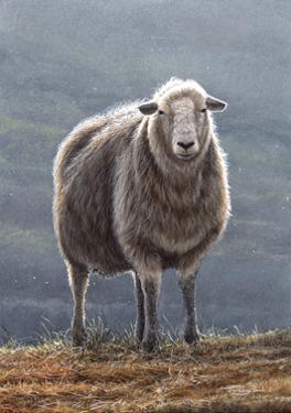 Herdwick Sheep by Jeremy Paul