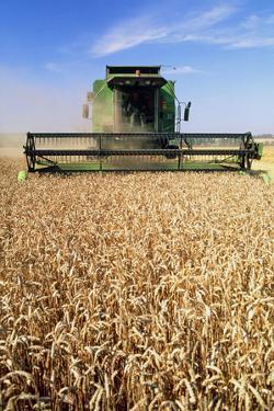 Combine Harvester Working In a Wheat Field by Jeremy Walker
