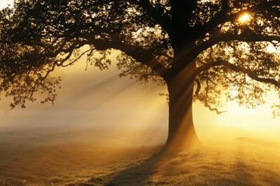 Oak Tree At Sunrise by Jeremy Walker