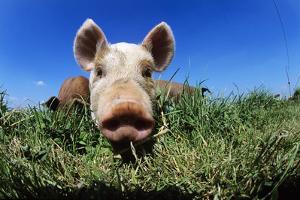 Piglet by Jeremy Walker
