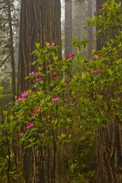 Rhododendrons blooming with Redwood trees, Redwood NP, California, USA by Jerry Ginsberg