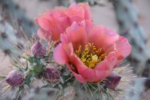 Prickly Pear Cactus with Pink Flowers by Jerry Horbert
