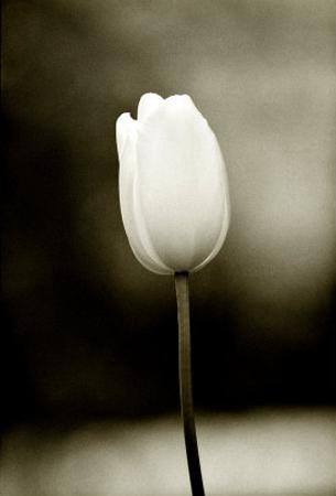 Early Morning Tulip