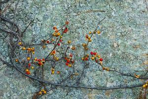 Berries and a Rock at Elmwood Farm in Hopkinton, Massachusetts by Jerry & Marcy Monkman