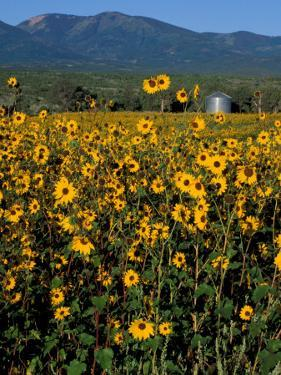 Field of Common Sunflowers, Abajo Mountains, Monticello, Utah, USA by Jerry & Marcy Monkman
