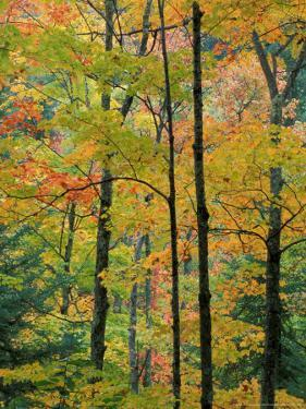 Northern Hardwood Forest in Fall, Green Mountain National Forest, Vermont, USA by Jerry & Marcy Monkman