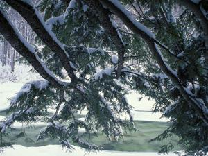 Snow and Eastern Hemlock, New Hampshire, USA by Jerry & Marcy Monkman