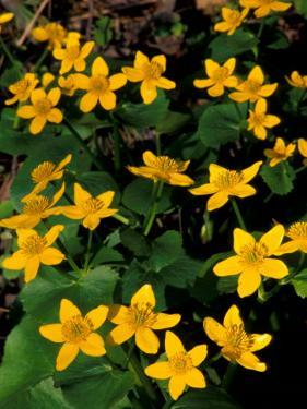 Urban Forestry Center, Marsh Marigolds, Portsmouth, New Hampshire, USA by Jerry & Marcy Monkman