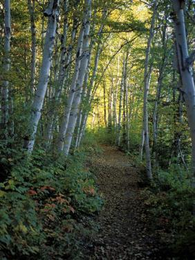 White Birch and Yellow Leaves in the White Mountains, New Hampshire, USA by Jerry & Marcy Monkman
