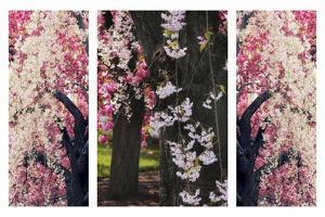Cherry Blossom Triptych by Jessica Jenney