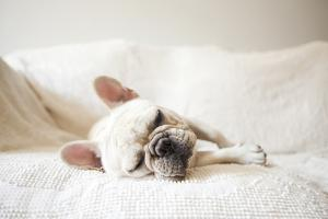 Usa, New York State, New York City, Portrait of French Bulldog Sleeping on Sofa by Jessica Peterson