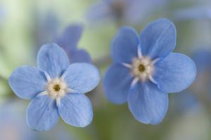 Forget-Me-Not Flowers by Jill Ferry