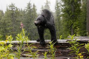 A Black Bear, Ursus Americanus, Shakes Water Off Himself by Jill Schneider